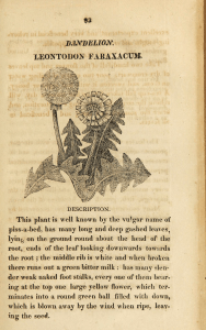 A rough engraving of a Dandelion plant.