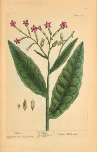 Colored botanical illustration of a tobacco plant.