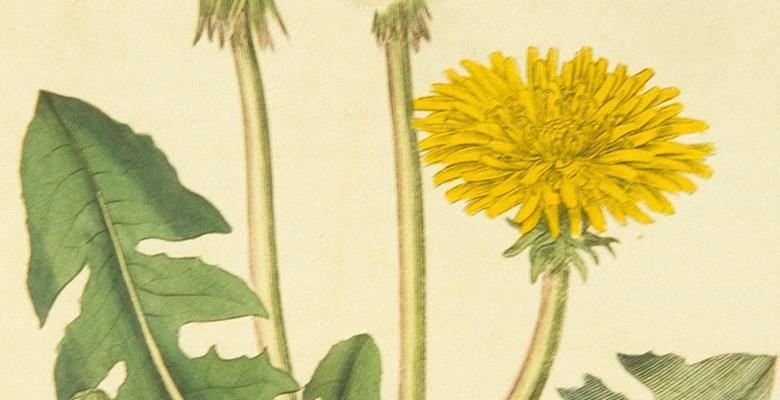 A botanical Illustration of a Dandelion flower.