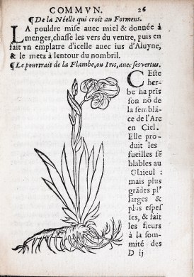 Inset in the text, a wood cut of an Iris plant in bloom, with roots exposed.
