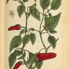 A botanical Illustration of a chili pepper plant.