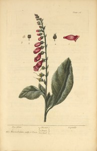 Illustration of the flower, fruit, and seed of a foxglove plant.
