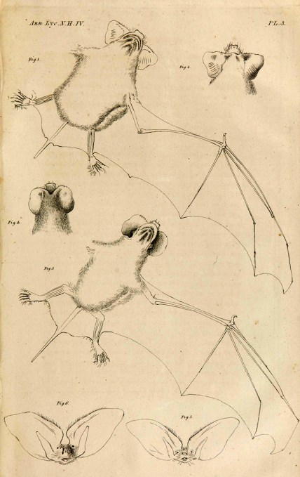 Six illustrations of bats including bodies wings, heads and faces.
