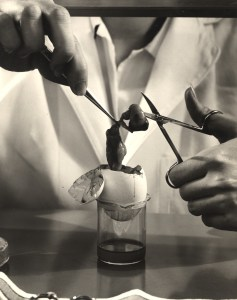 Laboratory Technician Cuts Tissue over an Egg Sitting in a Glass Jar
