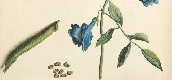 Detail of a hand-colored copper-plate engraving of a vining pea-like plant with blue flowers.