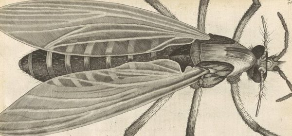 Drawing of a gnat as seen under a microscope