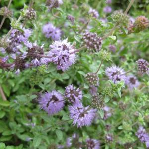 A mint like plant with purple flowers.