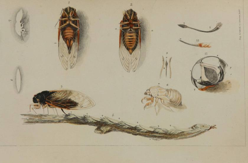 Anatomical drawings of the periodical cicada, male, female, egg laying damage, shell, ovipositor magnified, noise generation anatomy of the male.