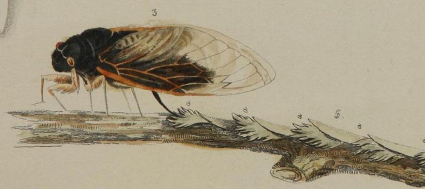 A drawing of the periodical cicada female laying eggs on a branch.