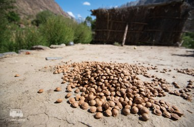 Did you know that the kernel of the apricot taste like almond? Here they are drying in the sun. The outer shell will be removed.