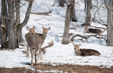 The sun was able to melt a little part of grass, so all the deer flocked there to eat some of the uncovered grass. Also these youngsters were happy that spring was coming!