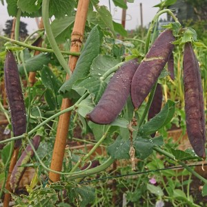 Victorian purple podded peas