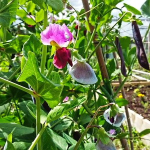purple podded peas in flower