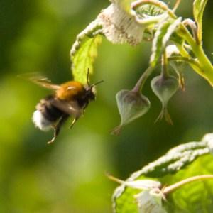 bee on raspberries