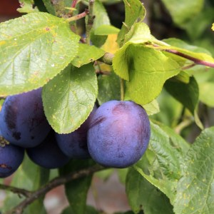 damsons growing