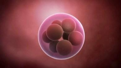Logran controlar el desarrollo del sexo de embrión animal