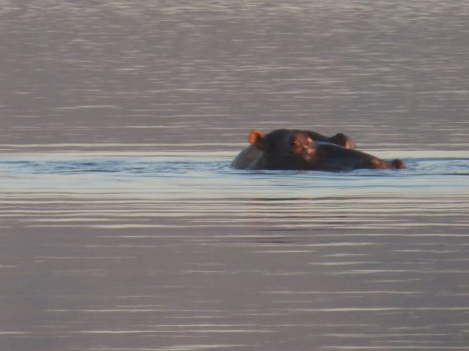 hippo2 667x500 - Wandering hippo spotted in Hartbeespoort Dam – The Citizen