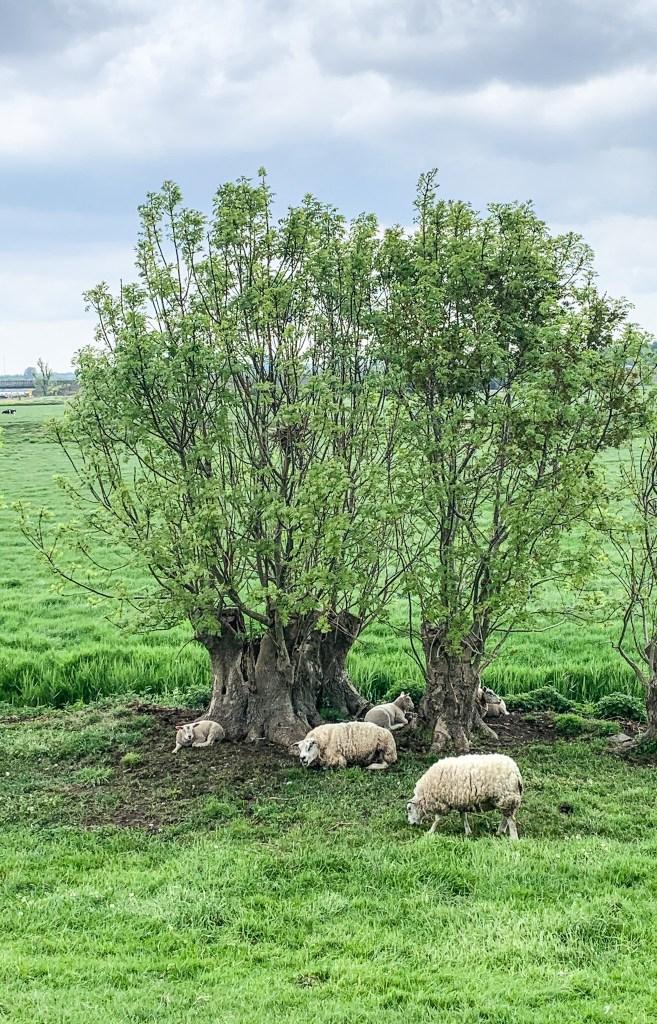 Echt Hollands landschap vlakbij Abcoude met schaapjes
