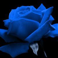 Elle m'appelait sa rose bleue
