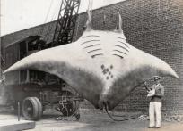 """La """"Grande Raie Manta"""" capturée par le Capitaine A.L. Kahn le 26 août 1933"""