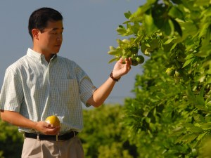 Associate Professor Daniel Lee examines green oranges in a research grove on University of Florida''s main campus in Gainesville. Lee is developing a computer system to recognize and count green oranges on trees. When perfected, the system could help growers manage and harvest their crops more efficiently. (AP photo/University of Florida/IFAS/Josh Wickham)