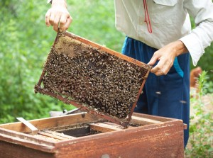 Bee-keeper keeps in hand honeycomb frame with bees on it.
