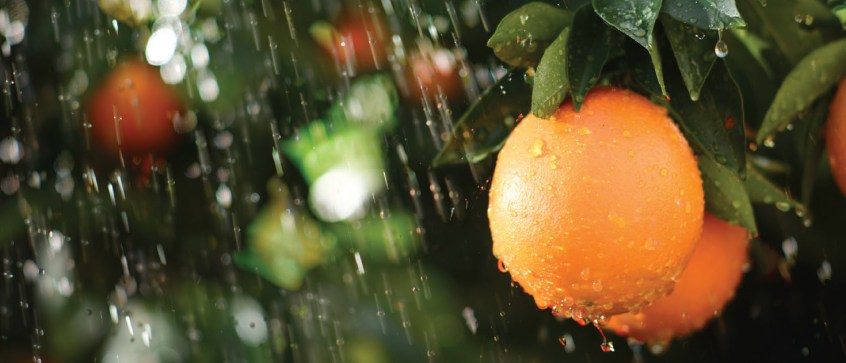 postbloom fruit drop