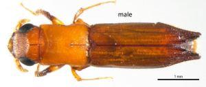 Ambrosia beetles