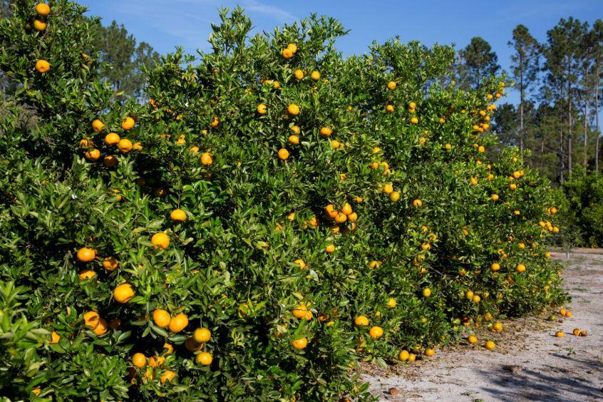 citrus soil health