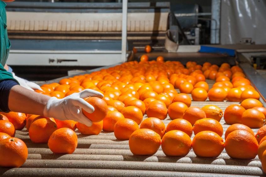 orange production