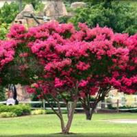 Crape Myrtle Trimming Tips