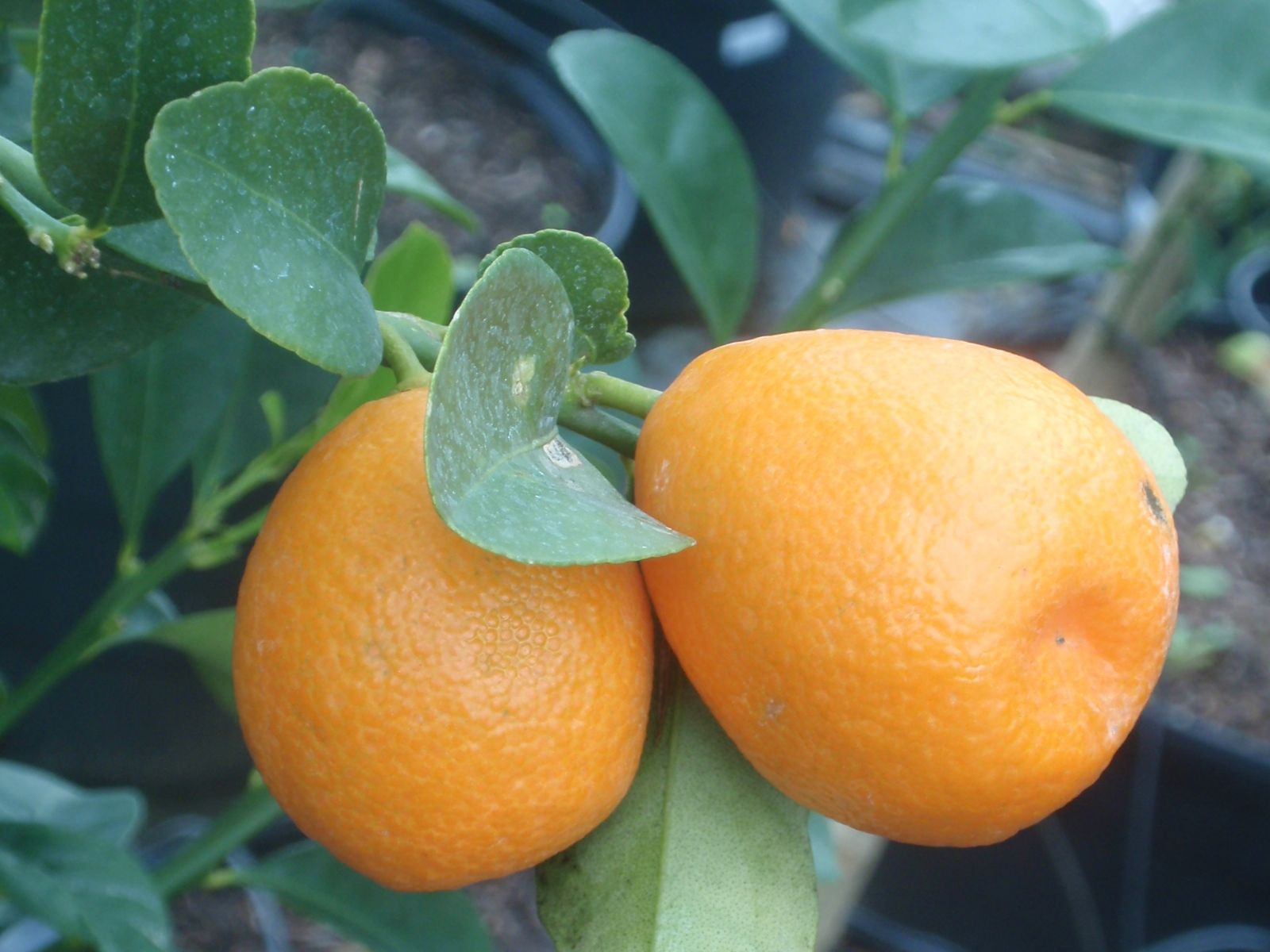 When eaten together, you get a sweet and sour taste which is unlike anything else. Kumquats Citrus Pages