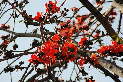 [植物筆記] 四月‧木棉樹開花 - 我的赤腳旅行 - udn部落格