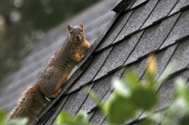 roof damage by animals