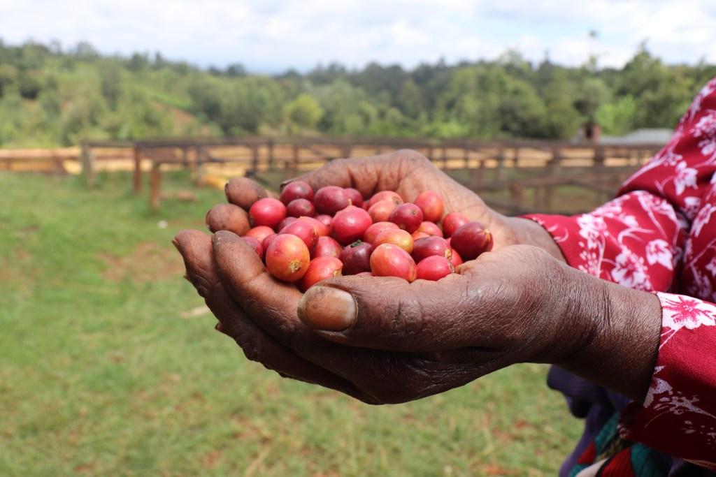 SL-34 Cherries