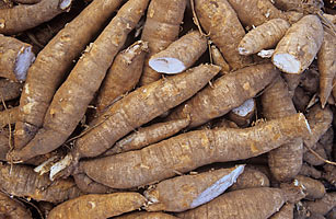 Researchers, policymakers to discuss cassava agronomy