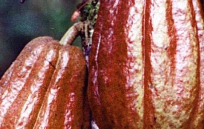 Cocoa Farmers In Edo Seek Financial Support From Govt