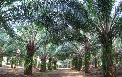 Akwa Ibom Distributes 100,000 Oil Palm Seedlings To Farmers