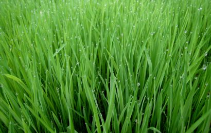 Ministry, Japan Empower 150 Farmers With Rice Seeds, Inputs In Edo