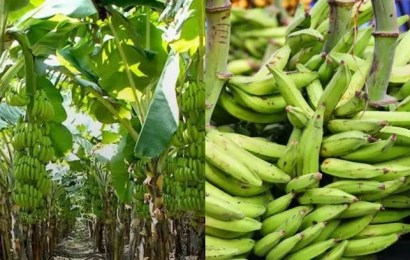 Institute Inaugurates Plantain, Banana Platform In Edo