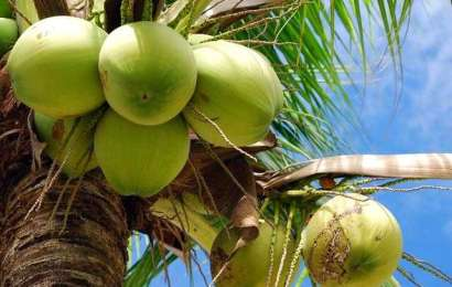 Nigeria Seeks More Investment In Coconut Industry