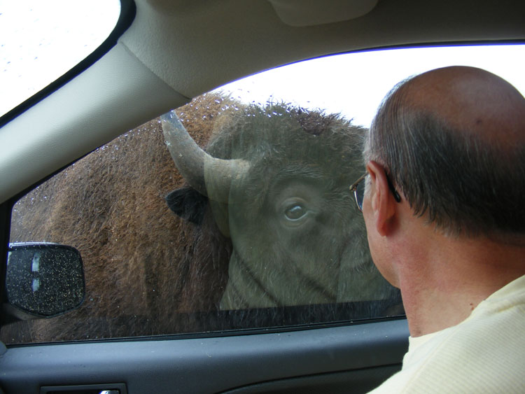 eye-to-eye-with-bison