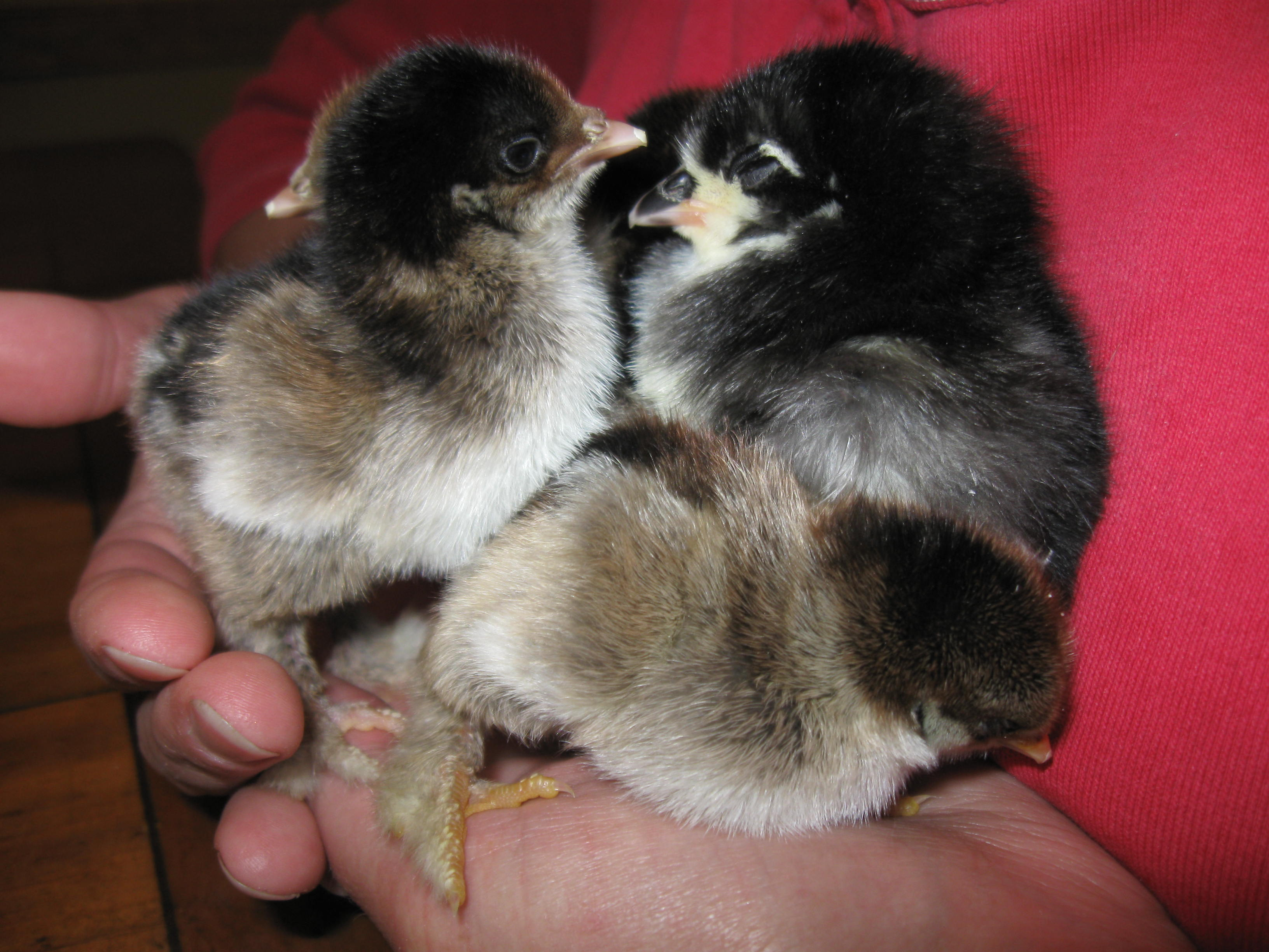 New chicks
