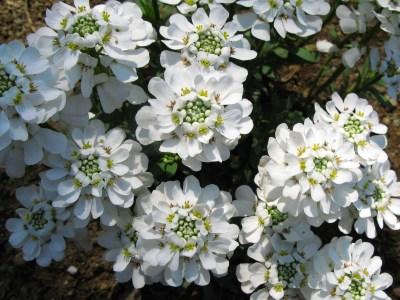 örökzöld tatárvirág