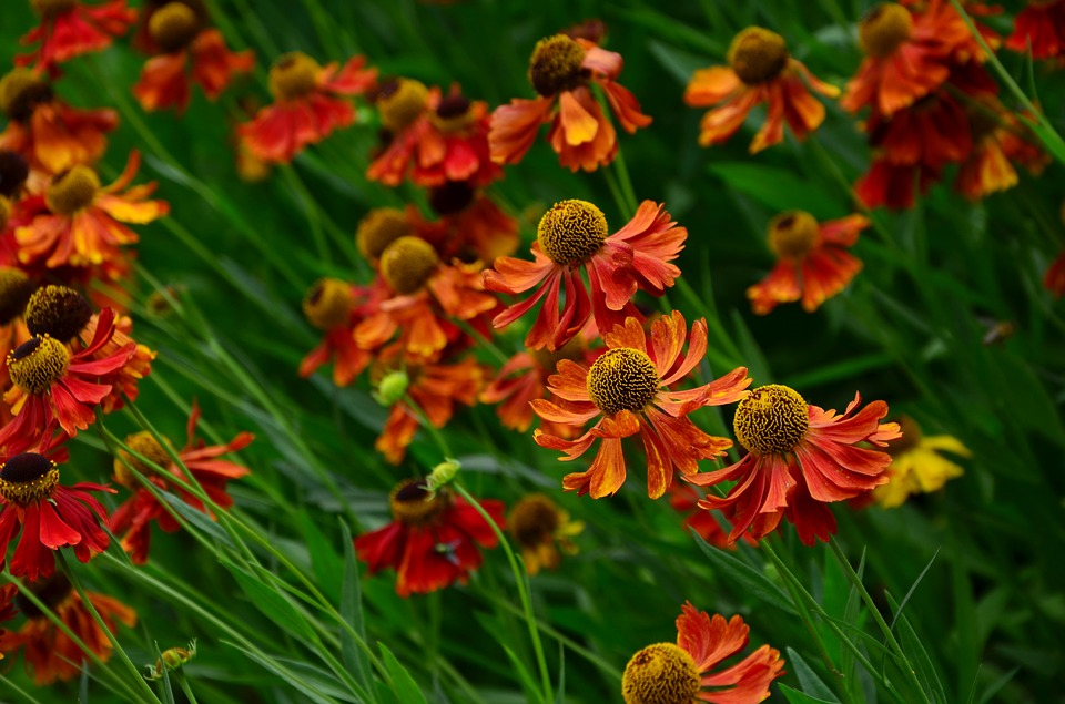 őszi napfényvirág