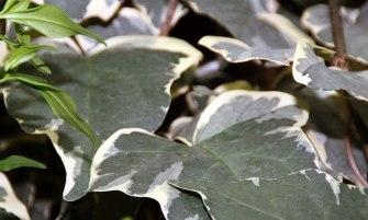 Hedera canariensis