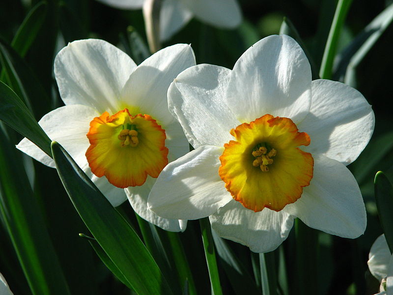 Narcissus 'Flower Record'