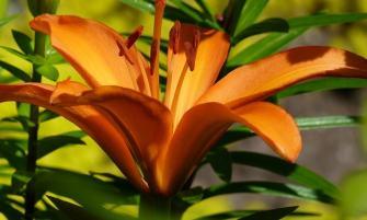 Tűzliliom (Lilium bulbiferum)