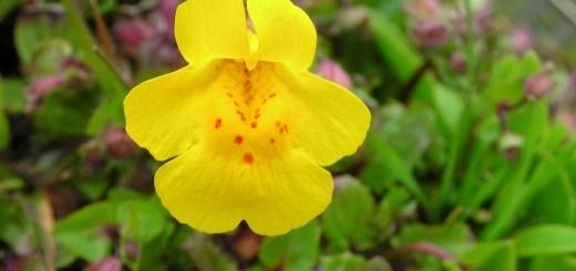 bohócvirág