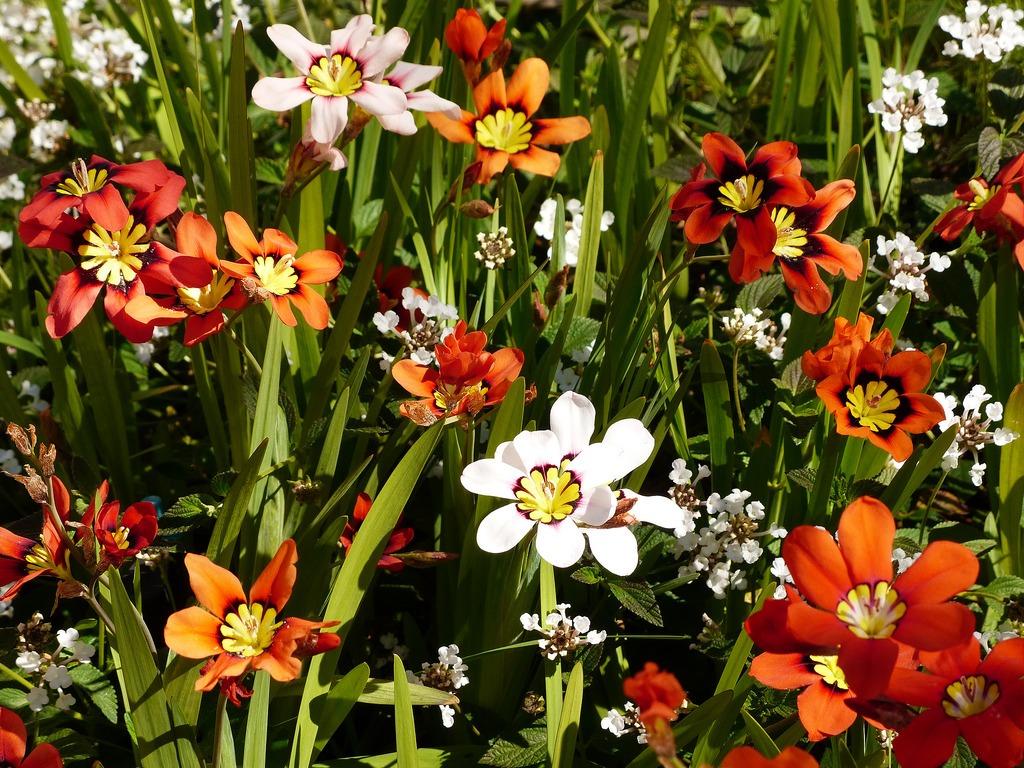 cigányvirág